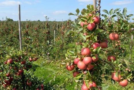 Au moins 53 pesticides par pomme | Chimie verte et agroécologie | Scoop.it