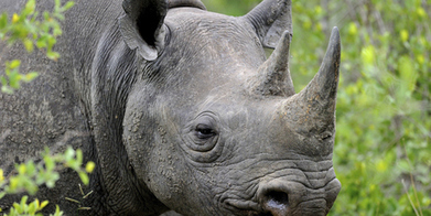 Rhino horn medicine or safari auction - what's the difference? | Rhino poaching | Scoop.it