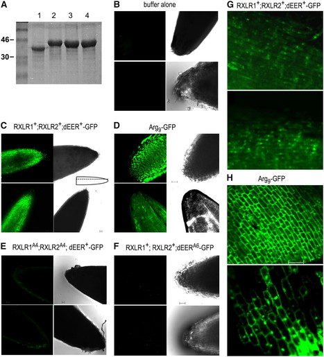 RXLR-Mediated Entry of Phytophthora sojae Effector Avr1b into Soybean Cells Does Not Require Pathogen-Encoded Machinery | Direct but flimsy evidence for oomycete effector translocation | Scoop.it