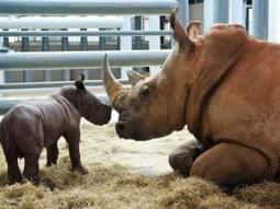 Mistrust! Was there breach in rhino poaching investigation? | The Wild Planet | Scoop.it