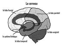 À propos du cerveau | Société Alzheimer du Canada | Cerveau intelligence | Scoop.it