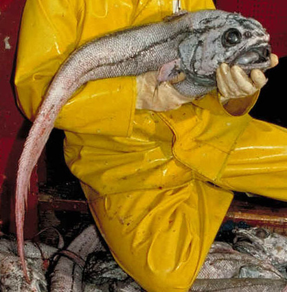 Real Life Sea Monsters – 24 Bizarre Creatures of the Deep | Who Sucks | Conspiracy Watch News | Scoop.it