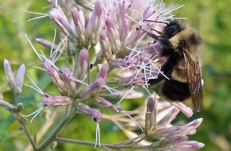 Bumble #bee is proposed for U.S. endangered species status | The #Japan Times #EU #pesticides #herbicides | Messenger for mother Earth | Scoop.it