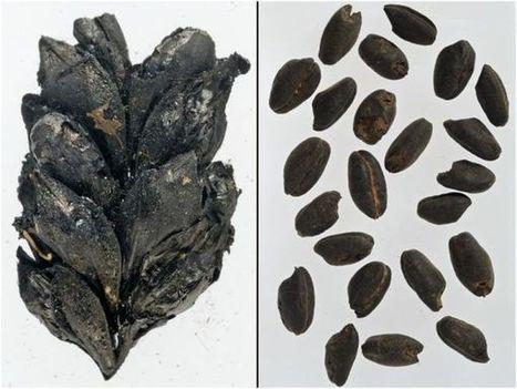 Descubren cuando comenzó el uso de fertilizantes en la agricultura: hace unos 8.000 años   Arqueología, Historia Antigua y Medieval - Archeology, Ancient and Medieval History byTerrae Antiqvae (Blogs)   Scoop.it