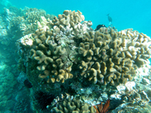 Coral Reefs: Initial Planning for Biological Restoration | Coral Conservation | Scoop.it
