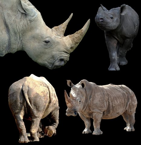 Zoo marches for rhinos - 15-Nov-11: Poaching South Africa article | What's Happening to Africa's Rhino? | Scoop.it