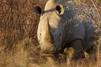 Rhino poachers target Kruger Park | What's Happening to Africa's Rhino? | Scoop.it