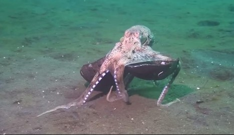 Incredible Octopus Behavior Nearly Caused Scientist To Drown From Laughing | Nature Animals humankind | Scoop.it