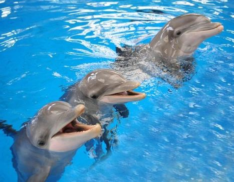 Dolphins keep lifelong social memories, longest in a non-human species | Wildlife | Scoop.it