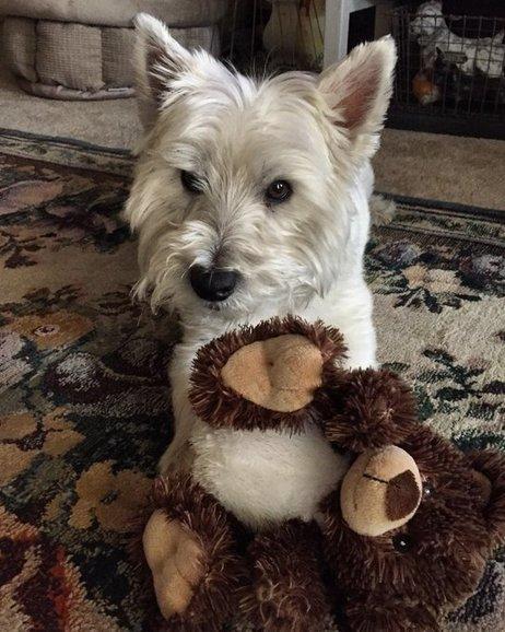 Tweet from @ForsakenFotos | West Highland White Terrier | Scoop.it