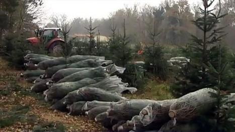 Les producteurs de sapins de noël en plein rush - France 3 Aquitaine | Agriculture en Dordogne | Scoop.it