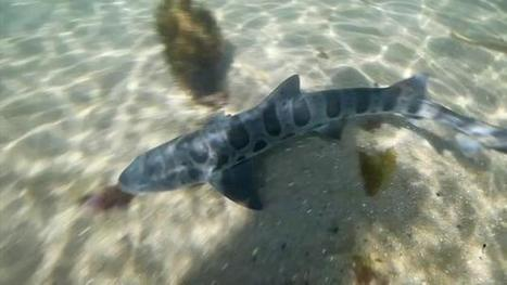 Poachers targeting baby sharks along Southern California coast | Oceans and Wildlife | Scoop.it
