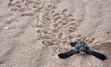 Baby leatherback turtles die in their thousands in Trinidad blunder | PlanetNews | Scoop.it