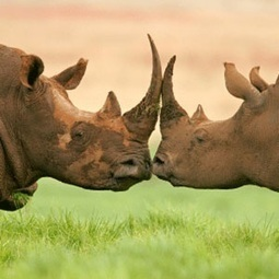 How the engagement ring proves that we shouldn't trade Rhino Horn - News24 | Wildlife Trafficking | Scoop.it