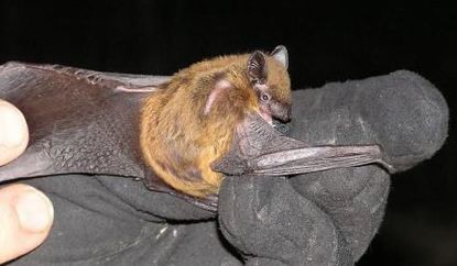 DNR reports first new mammal found in state in many years – a new bat species   spéléo   Scoop.it