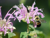 Bumblebee Decline Confirmed Across U.S. - ScienceNOW | Colony Collapse disorder | Scoop.it