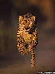 Cheetah's speed secrets revealed | A mixed bag - wildlife, food, travel | Scoop.it