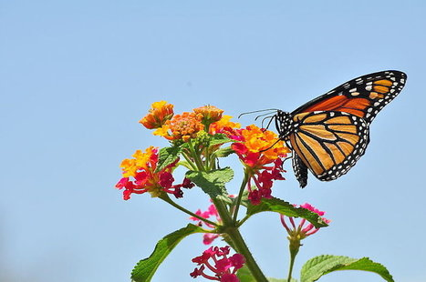 Can an Interstate Bug Highway Save the Monarch Butterflies? | This Gives Me Hope | Scoop.it