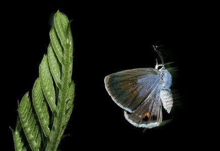 Threatened butterfly vanishes in last Fla. refuge | Ecological Education | Scoop.it
