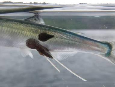 Des antipoux pour les saumons | Toxique, soyons vigilant ! | Scoop.it