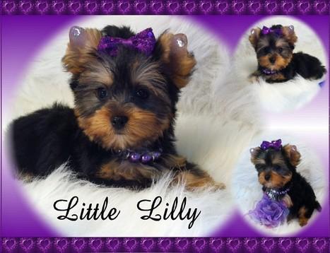 Yorkshire Terriers Breeders in Florida | Florida Golden Retriever puppies for sale | Scoop.it
