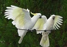 Cockatoos – Is this the Most Beautiful Australian Parrot? | Mainly Social | Scoop.it