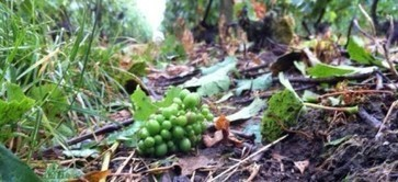 Champagne 2013 harvest yields under pressure | Vitabella Wine Daily Gossip | Scoop.it