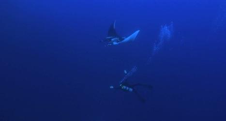 Île de Socorro : danse magique avec les raies manta géantes ! | Rays' world - Le monde des raies | Scoop.it