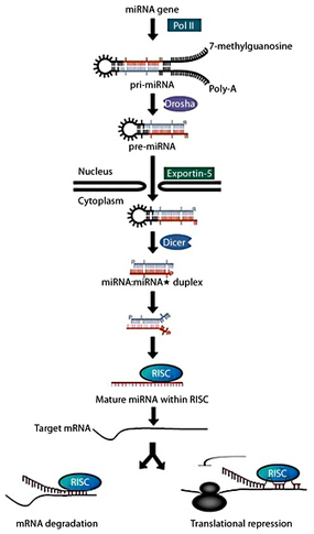 The Emerging Role of MicroRNAs in the Regulation of Gene Expression by Nutrients. | A Tale of Two Medicines | Scoop.it