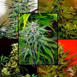 Take Care of Your Safety When You Buy Kush Cannabis Seeds Online | Food | Scoop.it
