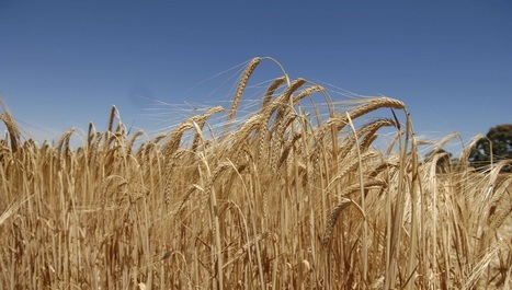 BBSRC mention: £3.4m for research projects in support of International Wheat Yield Partnership | BIOSCIENCE NEWS | Scoop.it