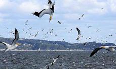 Diving birds risk death (ScienceAlert) | ScubaObsessed | Scoop.it