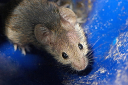 Lab Grown Retinal Cells Implanted Into Blind Mice – And They Work | Longevity science | Scoop.it