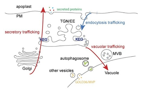 Plant Cell: The KEEP ON GOING Protein of Arabidopsis Regulates Intracellular Protein Trafficking and Is Degraded during Fungal Infection (2012) | Plants and Microbes | Scoop.it
