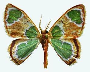 40 nouveaux papillons de Guyane décrits dans la revue Antenor | EntomoNews | Scoop.it