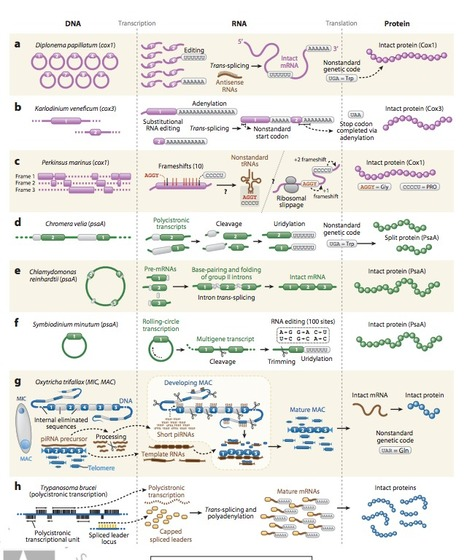 Protists and the Wild, Wild West of Gene Expression: New Frontiers, Lawlessness, and Misfits - Annual Review of Microbiology, 70(1): | Protist evolution and biology | Scoop.it