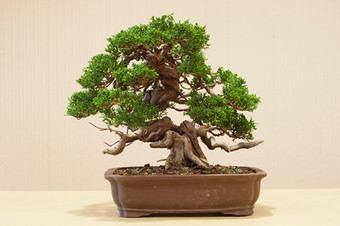 Akio Kondo bonsai critique « Bonsai Tonight | Bonsai | Scoop.it