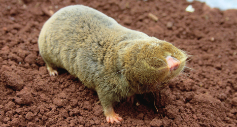 Blind mole-rats are loaded with anticancer genes | Science News | 21st Century Innovative Technologies and Developments as also discoveries, curiosity ( insolite)... | Scoop.it