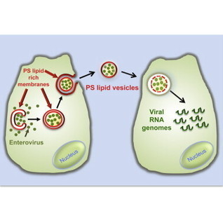 Phosphatidylserine Vesicles Enable Efficient En Bloc Transmission of Enteroviruses: Cell | Host Cell & Pathogen Interactions | Scoop.it