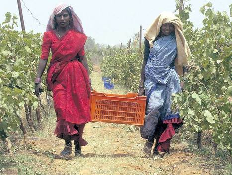 India is developing a reputation for wine | Vitabella Wine Daily Gossip | Scoop.it