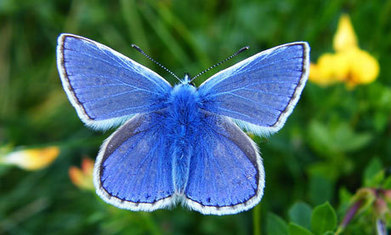 Grassland butterflies in rapid decline in Europe | EnviroPets | Scoop.it