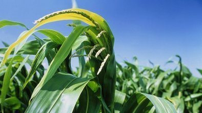 Government leads new GM crops push | The Barley Mow | Scoop.it