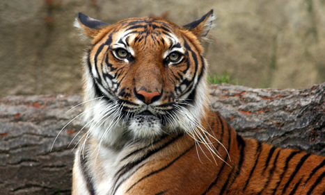 Indochinese Tiger   Species   WWF   Year 7 Science: Endangered Species – Tigers across Asia   Scoop.it