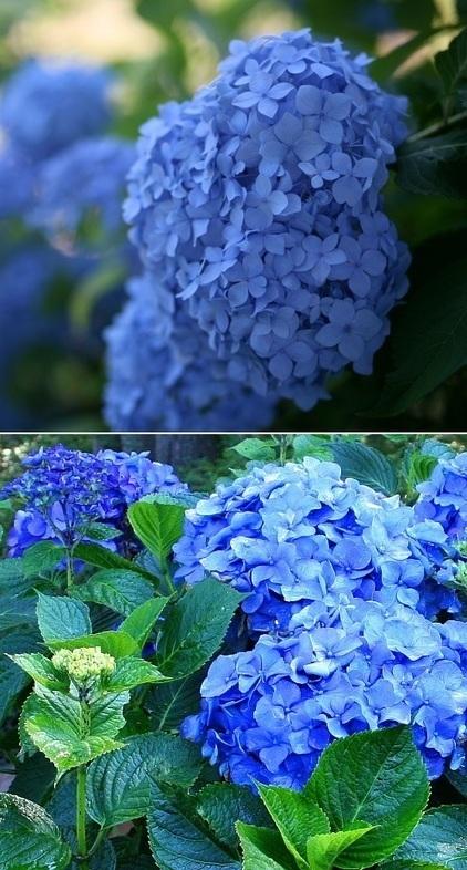 How to turn hydrangeas blue | Backyard Gardening | Scoop.it
