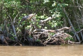 University of Tennessee Study Finds Crocodiles Climb Trees | Tree Campus USA | Scoop.it