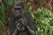 24 Mountain Gorillas | marsocial's Author's Business Enhancement | Scoop.it
