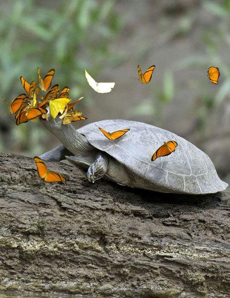 En plein coeur de la forêt amazonienne, les papillons s'abreuvent des larmes de tortues pour survivre | Cette nature qui nous soigne | Scoop.it