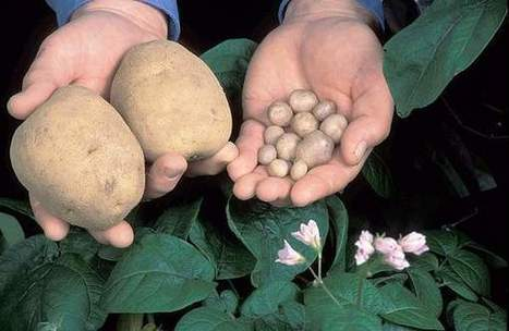 Researchers use wild potatoes to develop better hybrids - Capital press | Agricultural Biodiversity | Scoop.it