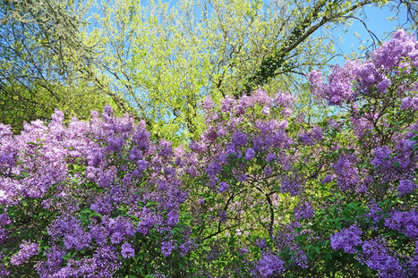 Le lilas a fleuri | The Blog's Revue by OlivierSC | Scoop.it
