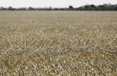 Australia's farming future: can our wheat keep feeding the world? | Geography in the classroom | Scoop.it